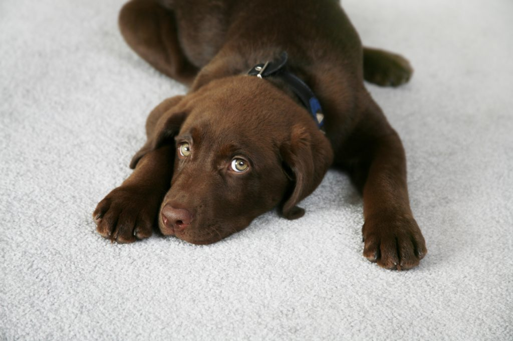 How to clean the carpet from dog pee